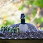 a duck mother sitting on her nest with her baby ducks